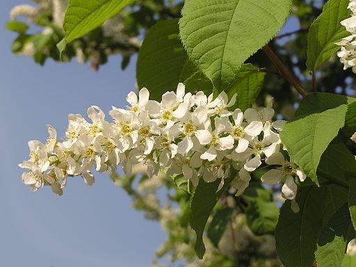 Gewöhnliche Traubenkirsche - Darstellung der Blüte