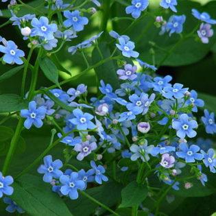 Kaukasusvergissmeinnicht - Darstellung der Blüte