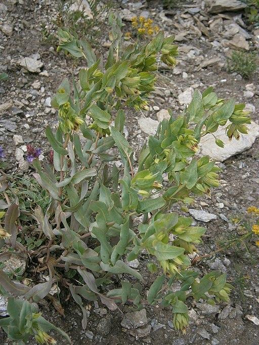Kleine Wachsblume - Darstellung der Pflanze