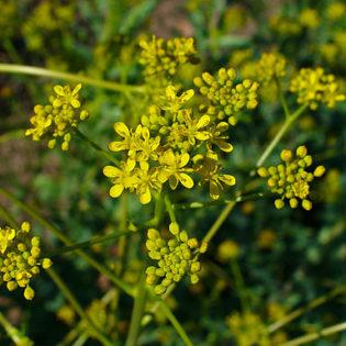 Färber Waid - Darstellung der Blüte