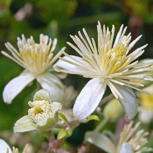 Waldrebe - Darstellung der Blüte