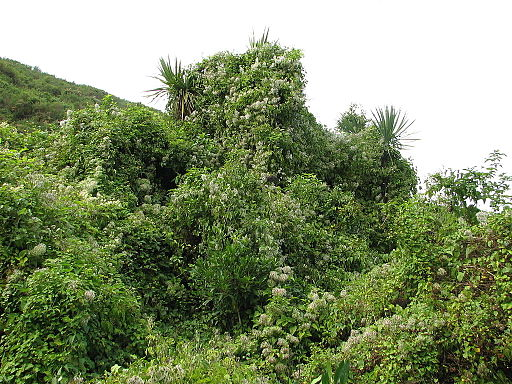 Waldrebe - Darstellung der Pflanze