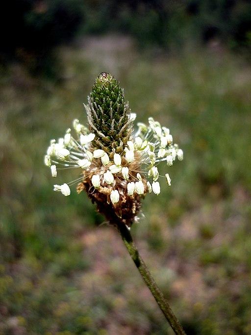 Der Spitz-Wegerich (Plantago lanceolata) - Darstellung der Blüte