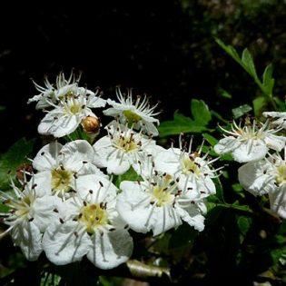 Weißdorn - Darstellung der Blüte