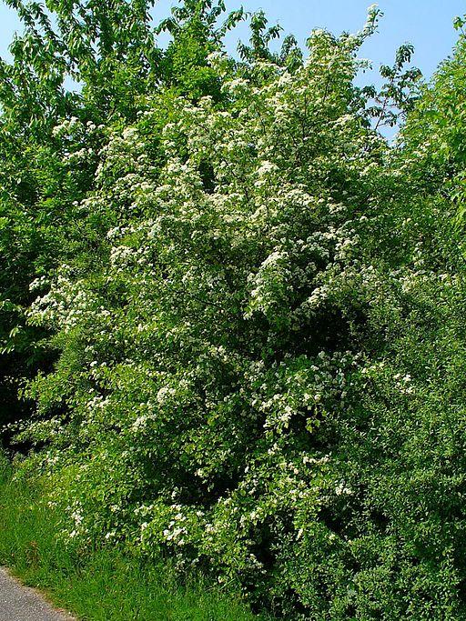 Weißdorn - Darstellung der Pflanze