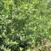 Grauweide - Darstellung der Pflanze