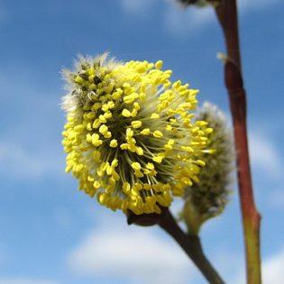 Sal Weide - Darstellung der Blüte