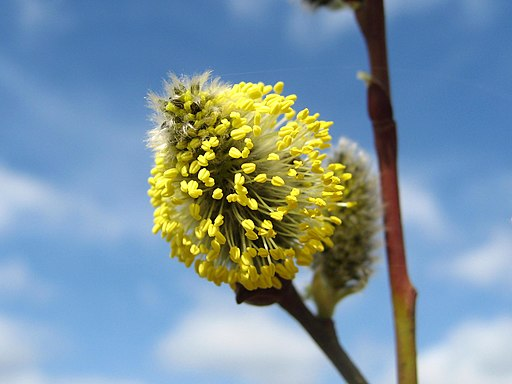 Salweide - Darstellung der Blüte