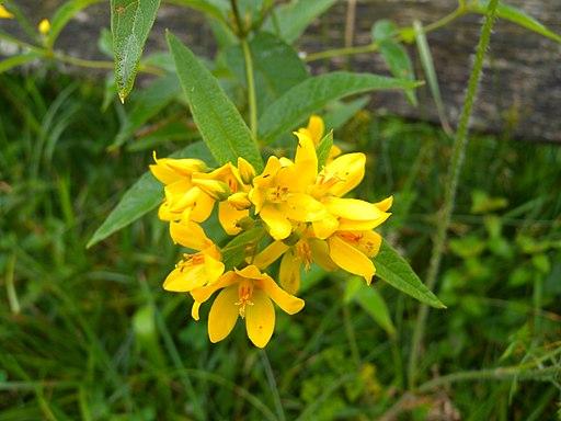 Gewöhnlicher Gilbweiderich - Darstellung der Blüte