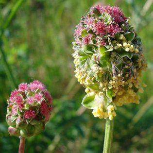Kleiner Wiesenknopf - Darstellung der Blüte