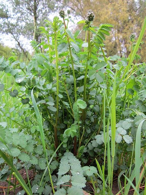 Kleiner Wiesenknopf - Darstellung der Pflanze