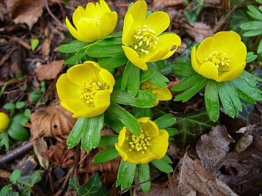Winterling - Darstellung der Blüte