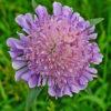 Acker Witwenblume - Darstellung der Blüte