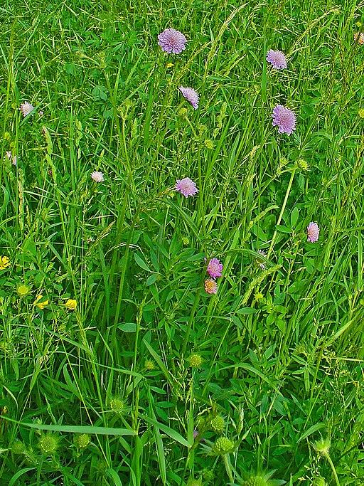 Acker Witwenblume - Darstellung der Pflanze