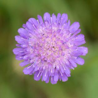 Witwenblume - Darstellung der Blüte