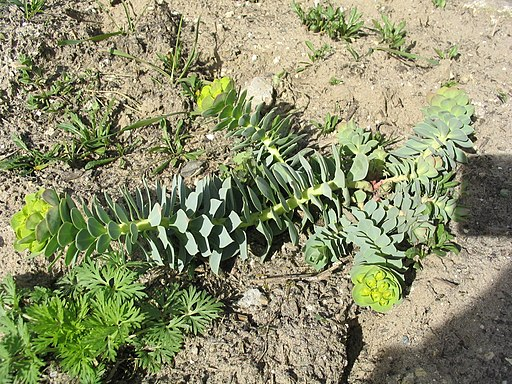 Walzen-Wolfsmilch - Darstellung der Pflanze