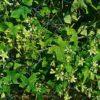 Rotbeerige Zaunrübe - Darstellung der Pflanze