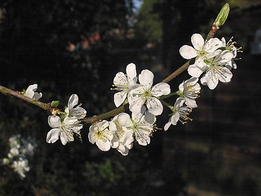 Zwetschge - Darstellung der Blüte