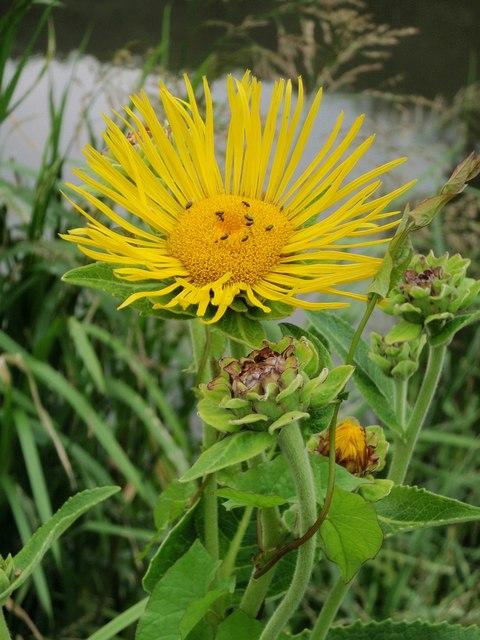 Alant, Echter - Darstellung der Blüte