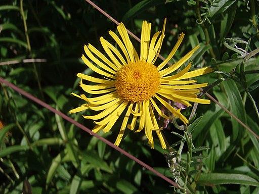 Weidenblättriger Alant - Darstellung der Blüte