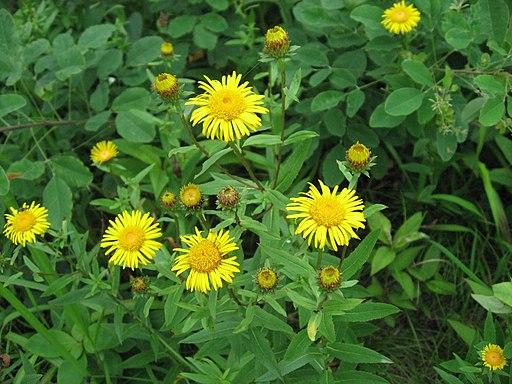 Weidenblättriger Alant - Darstellung der Pflanze