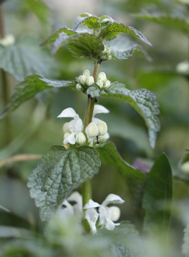 Blüte der Weißen Taubnessel