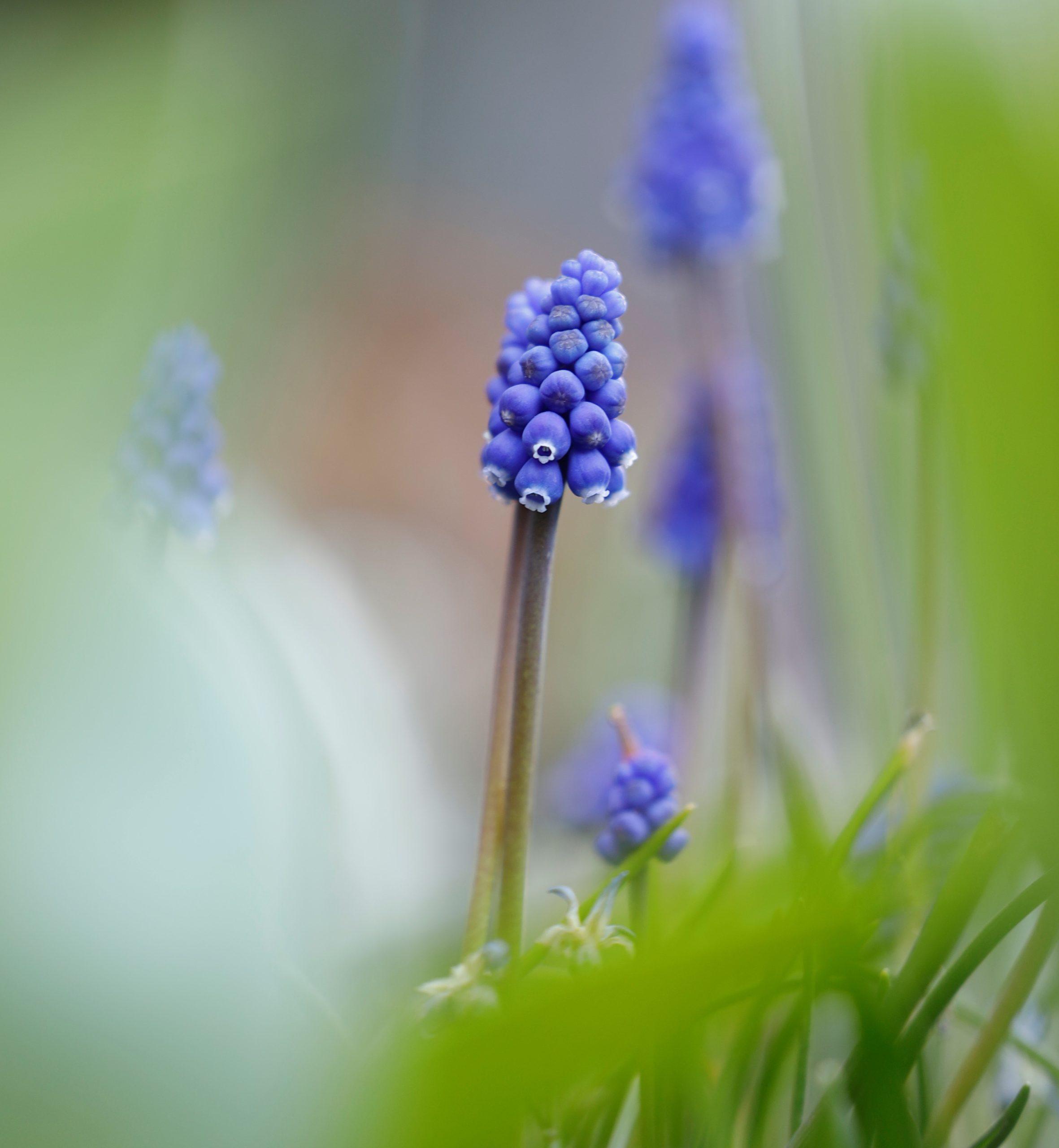 Blüte der kleinen Traubenhyazinthe