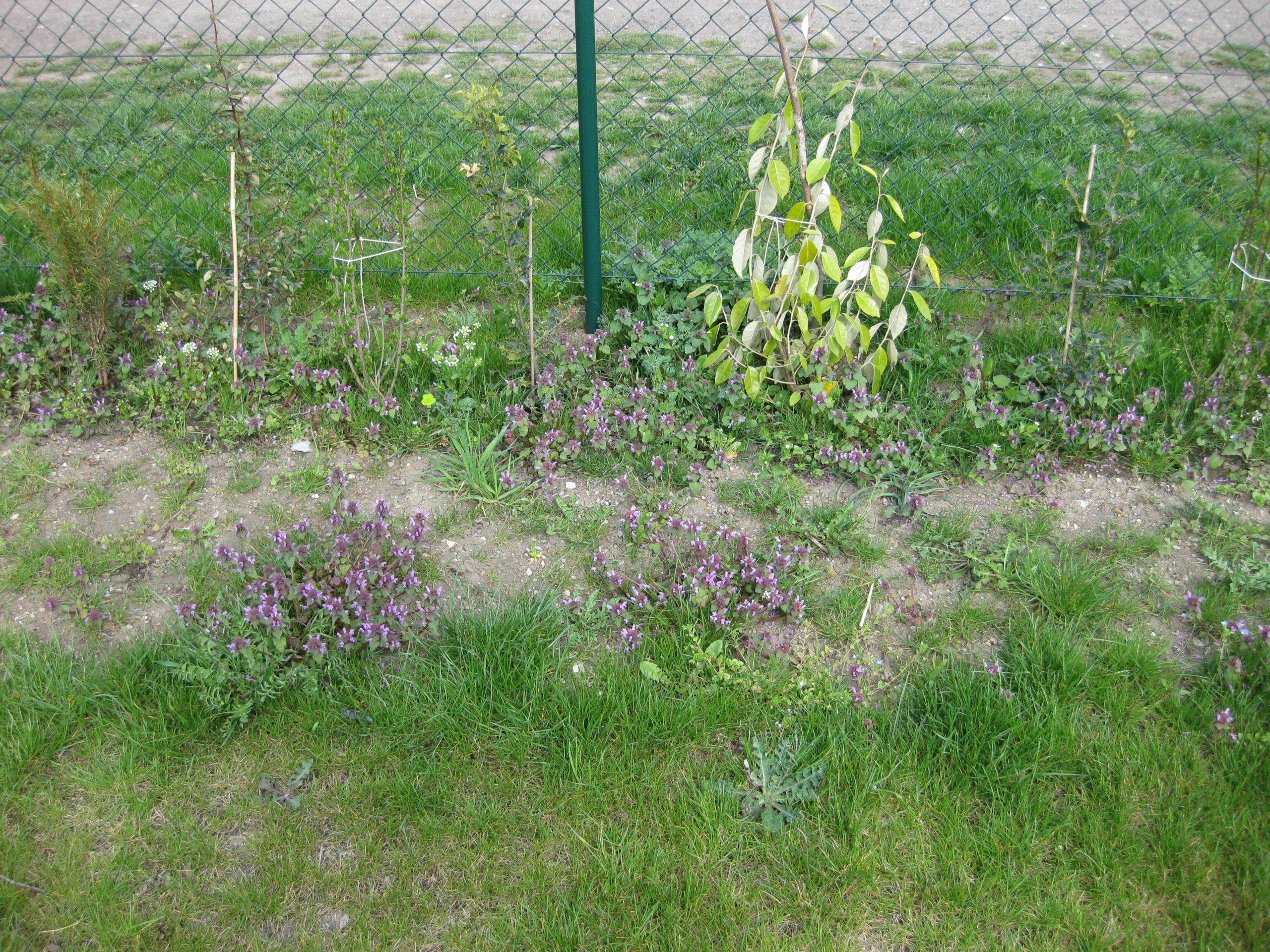 Wildwuchs - Purpurrote Taubnessel Blüte