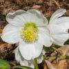 Schwarze Nieswurz - Darstellung der Blüte