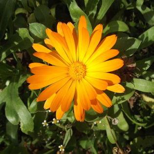 Ringelblume - Darstellung der Blüte