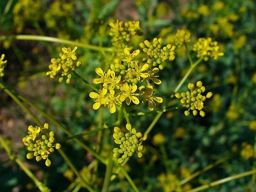 Waid, Färber - Blüte