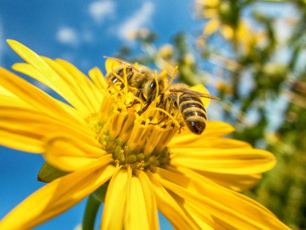 Blüte der Silphie mit Honigbiene