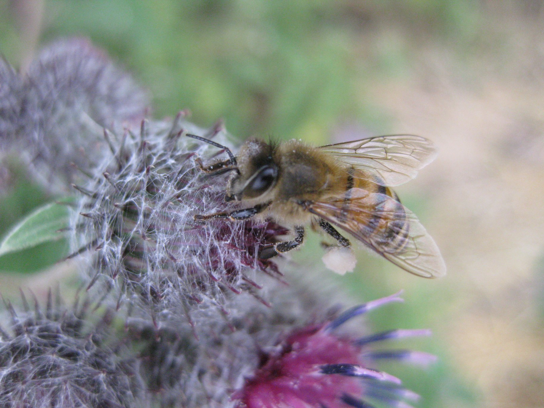Große Klette - Darstellung der Blüte mit Honigbiene