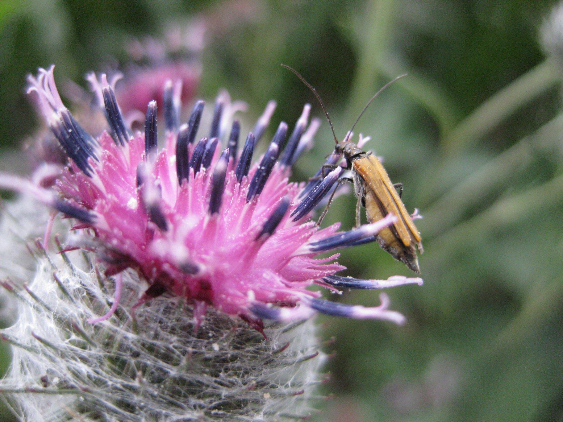 Große Klette - Darstellung der Blüte mit Insekt