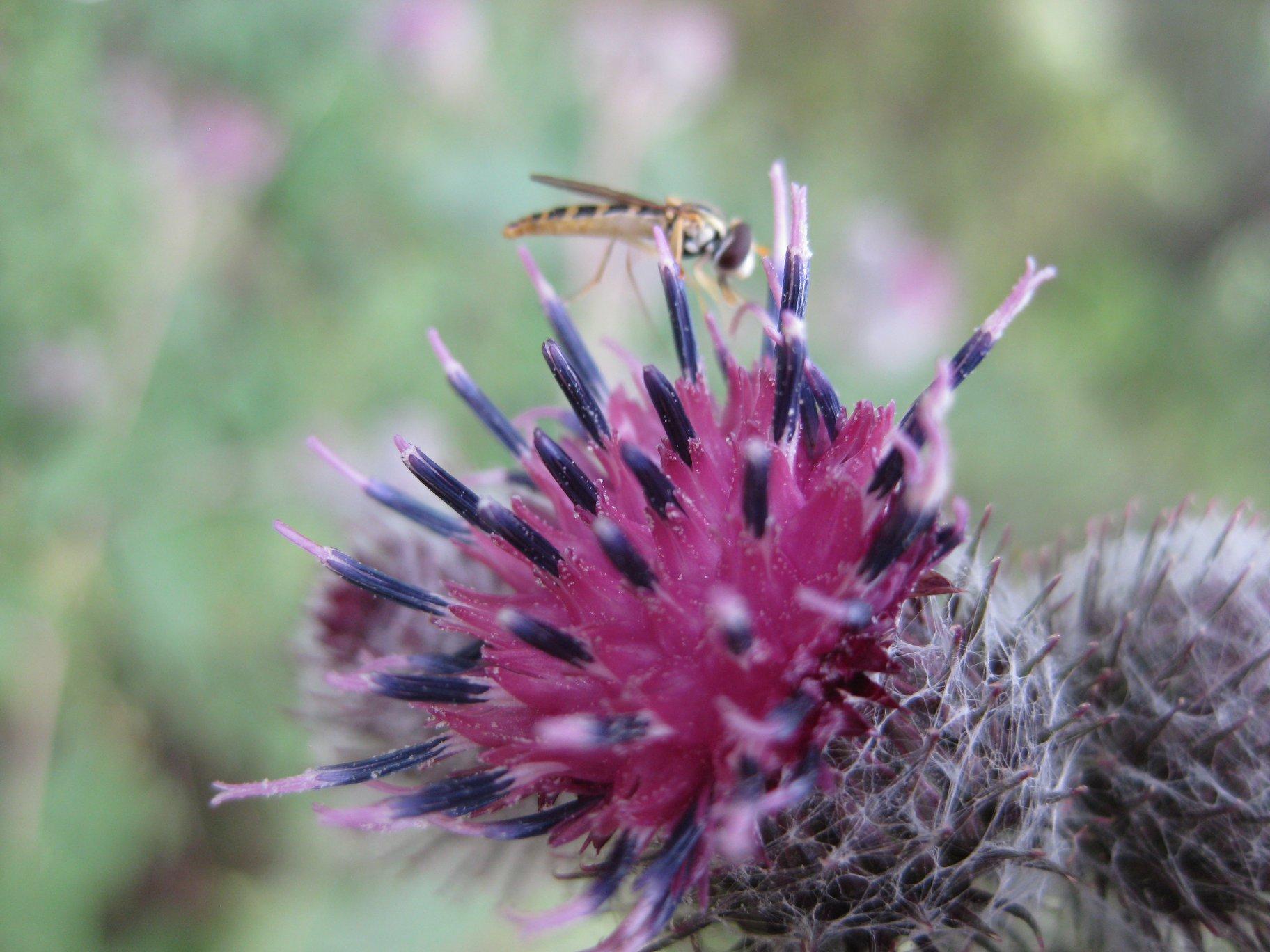 Große Klette - Darstellung der Blüte mit Schwebfliege