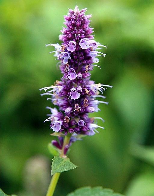 Duftnessel - Darstellung der Blüte