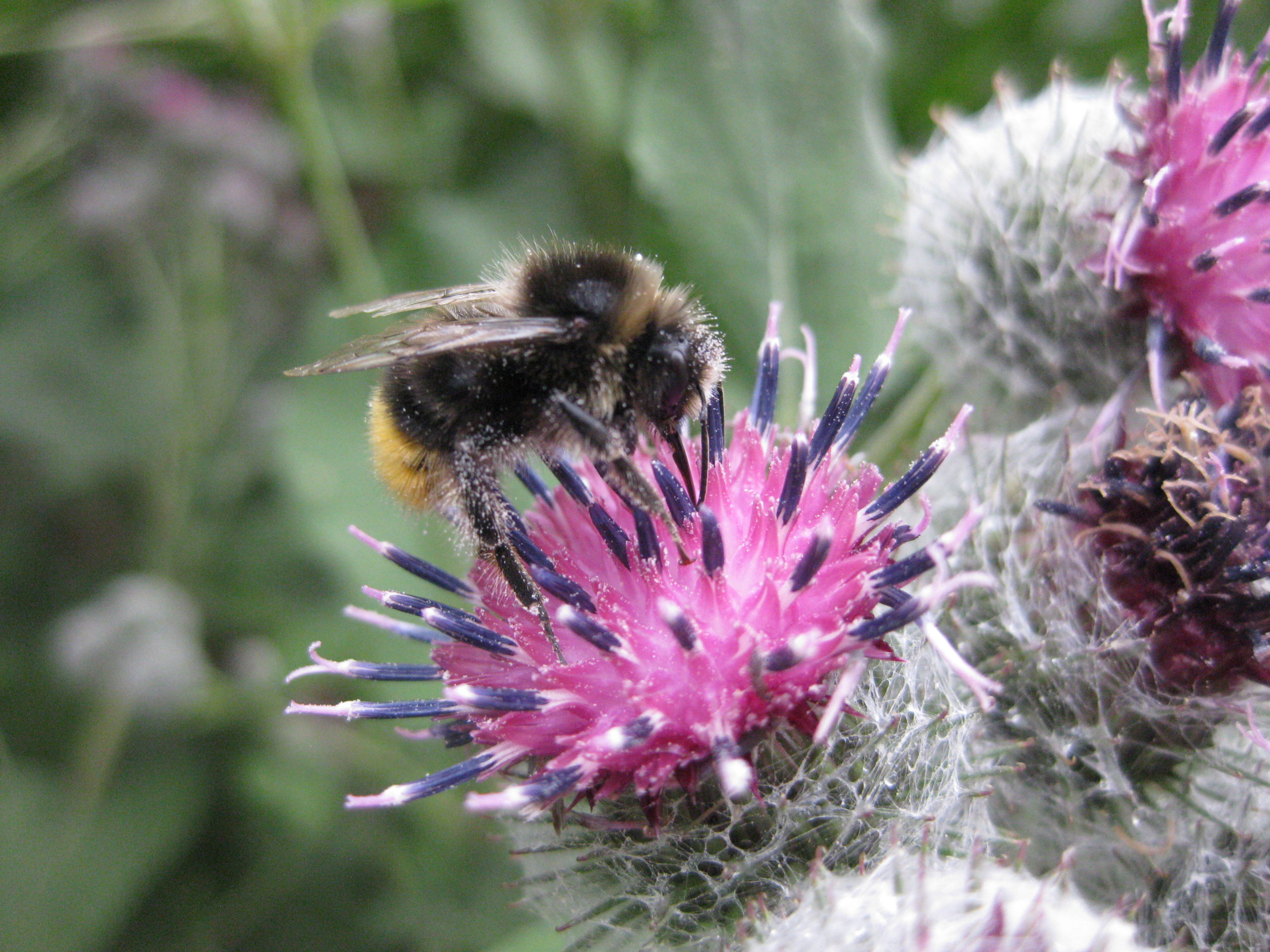 Biene auf Blüte der Großen Klette