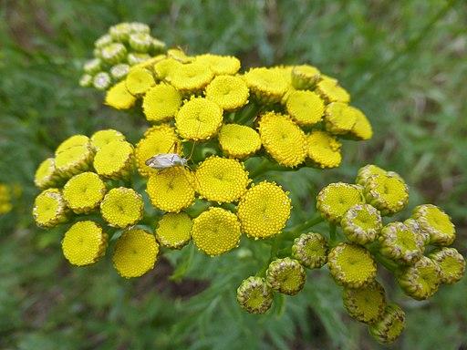 Rainfarn - Darstellung der Blüte