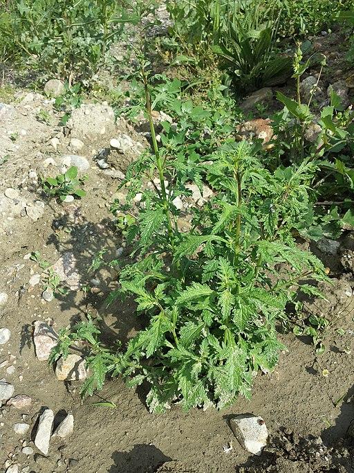 Pflanze Echtes Eisenkraut