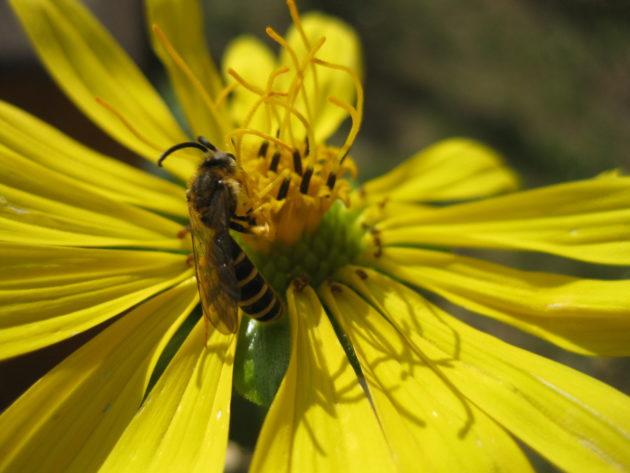 Biene auf der Blüte einer Silphie