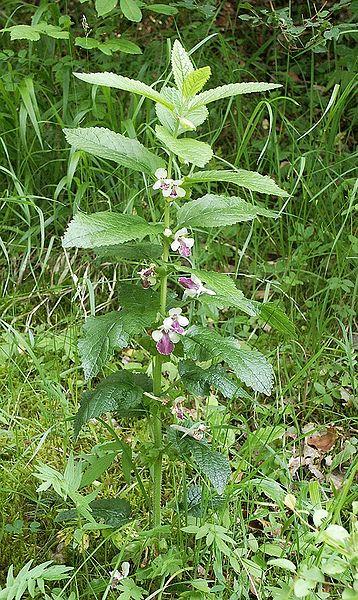 Immenblatt Pflanze