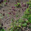 Schwarzviolette Akelei - Darstellung der Pflanze