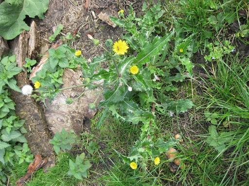Pflanze der Acker-Gänsedistel