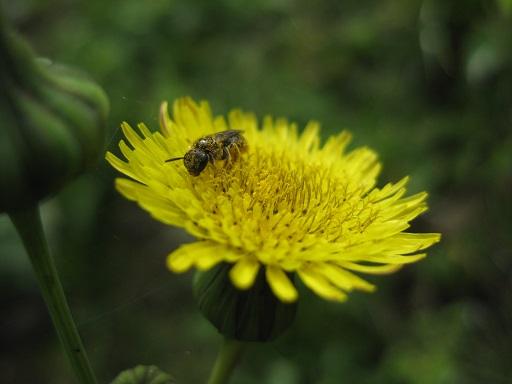 Wildbiene auf Acker Gänsedistel Blüte