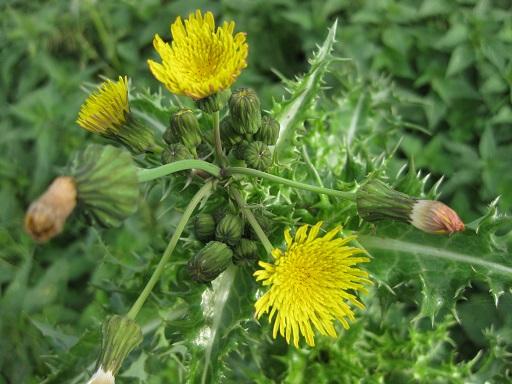 Blüte der Acker-Gänsedistel