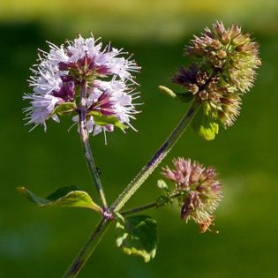 Blüte Bach Minze