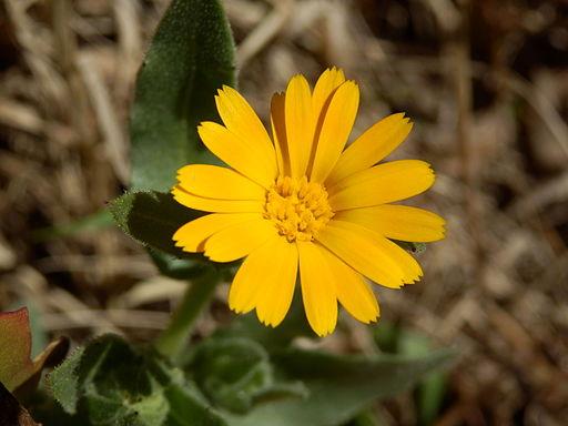Acker Ringelblume - Darstellung der Blüte