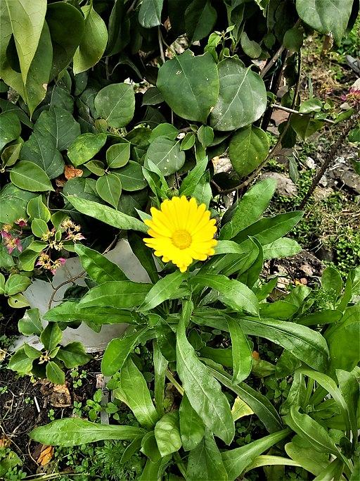 Acker Ringelblume - Darstellung der Pflanze