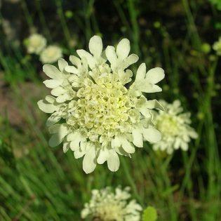 Gelbe Skabiose - Blüte