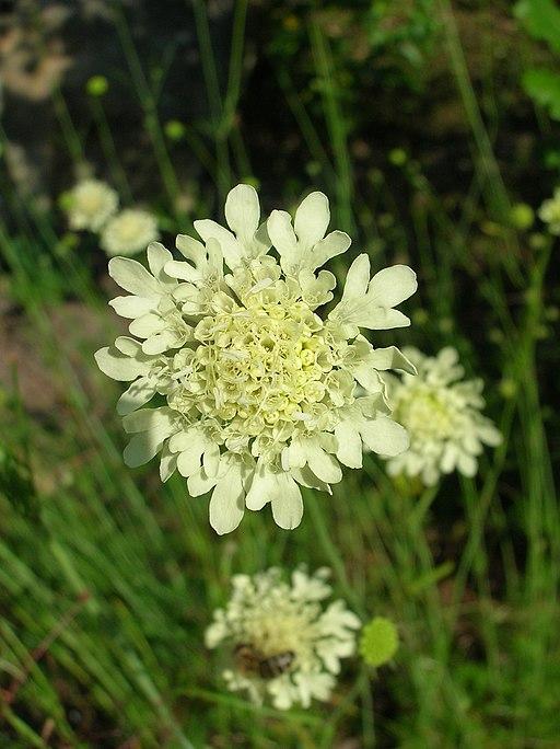 Gelbe Skabiose - Darstellung der Blüte